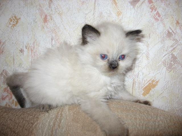 Котята уникальной породы РЭГДОЛЛ (Тряпичная кукла). Различного окраса